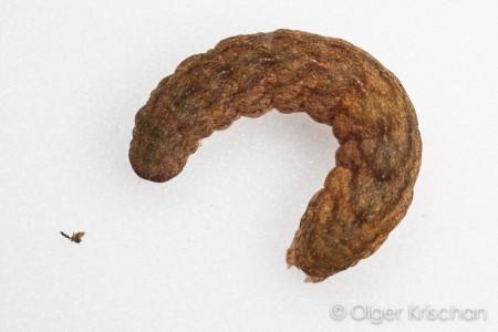 Agaatvlinder (Phlogophora meticulosa), rups 5e instar