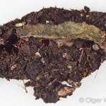 Agaatvlinder (Phlogophora meticulosa), pop in aarde