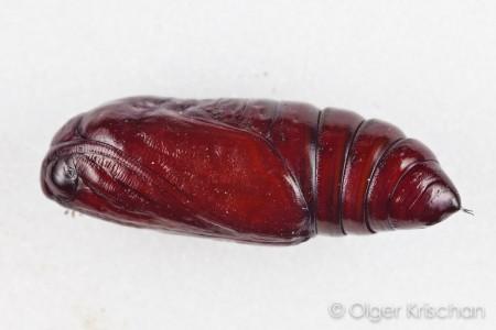 Agaatvlinder (Phlogophora meticulosa), pop
