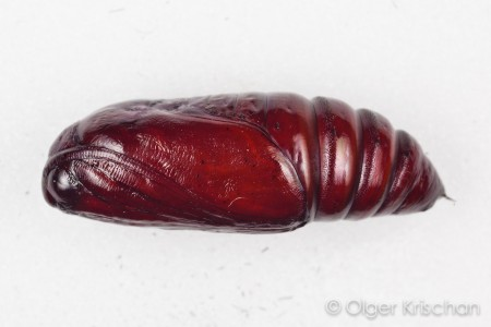 Agaatvlinder (Phlogophora meticulosa), pop, rups nr 1