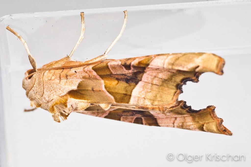 Agaatvlinder (Phlogophora meticulosa), imago nr 1