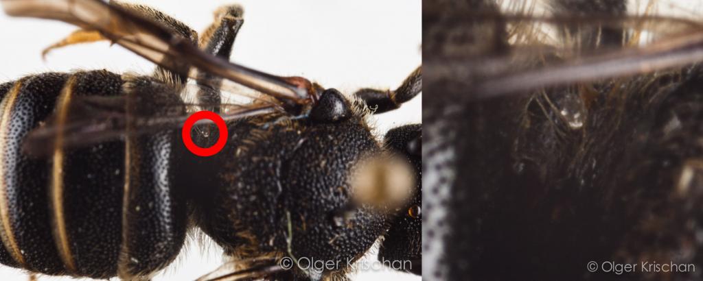 Parasiet op Geelgerande tubebij ♀ (Stelis punctulatissima) - collectie: Olger Krischan Plataan, id: ORK-Pxxx