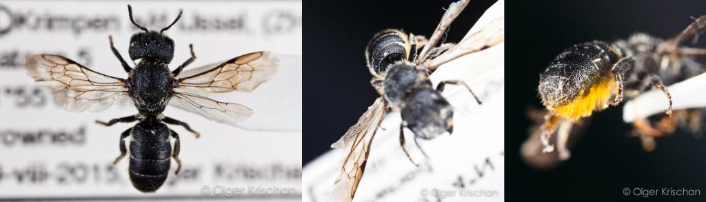 Tronkenbij ♀ (Heriades truncorum) - collectie: Olger Krischan Plataan, id: ORK-Pxxx1