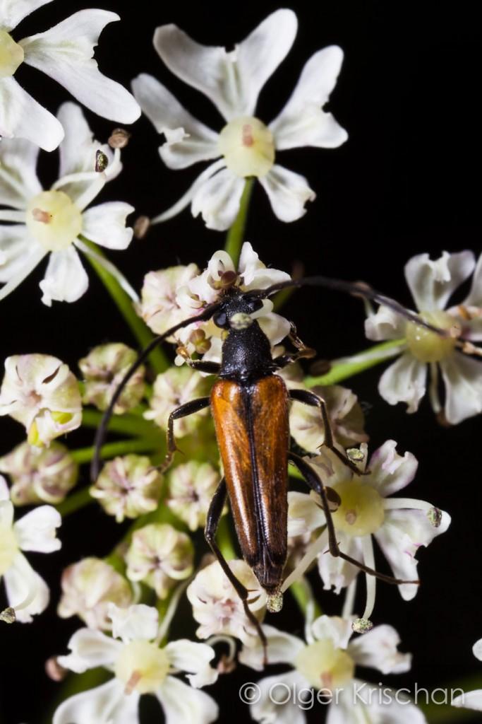 Boktor ♂ (Stenurella bifasciata), Cochum (D)
