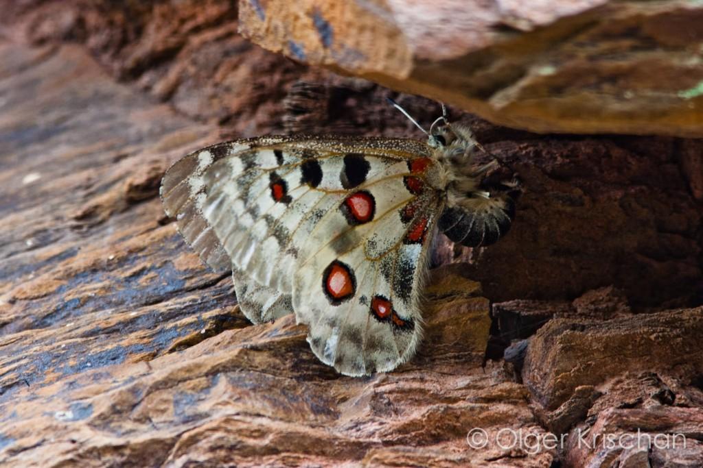 ♀ (Parnassius apollo), Cochum (D)