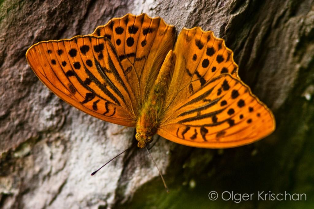 Keizersmantel (Argynnis paphia), Klotten (D)