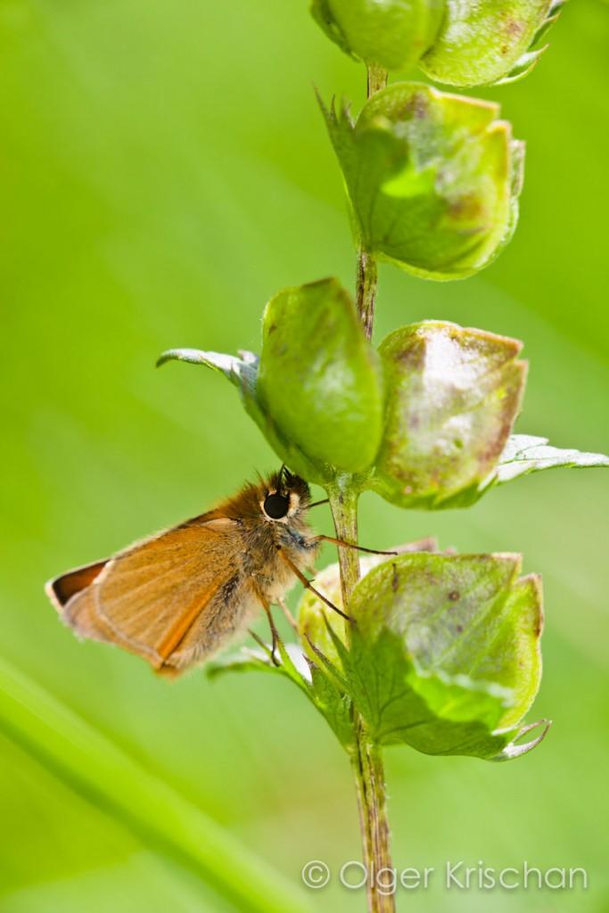 Geelsprietdikkopje (Thymelicus sylvestris), Blankenheim (D)