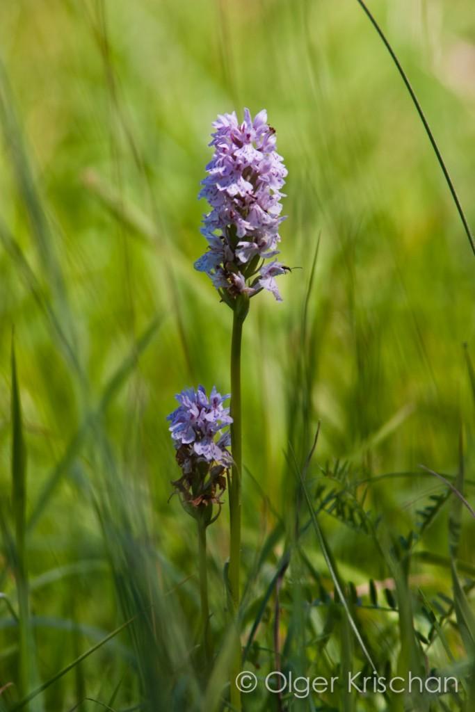 Orchide, Dollendorf (D)