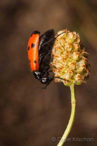 Blister beetle (Mylabris quadripunctata), Valensole (F)