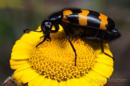 Blister beetle (Mylabris variabilis), Valensole (F)