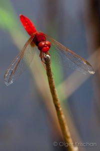 Scarlet darter (Crocothemis erythraea), Plaine des Maures (F)