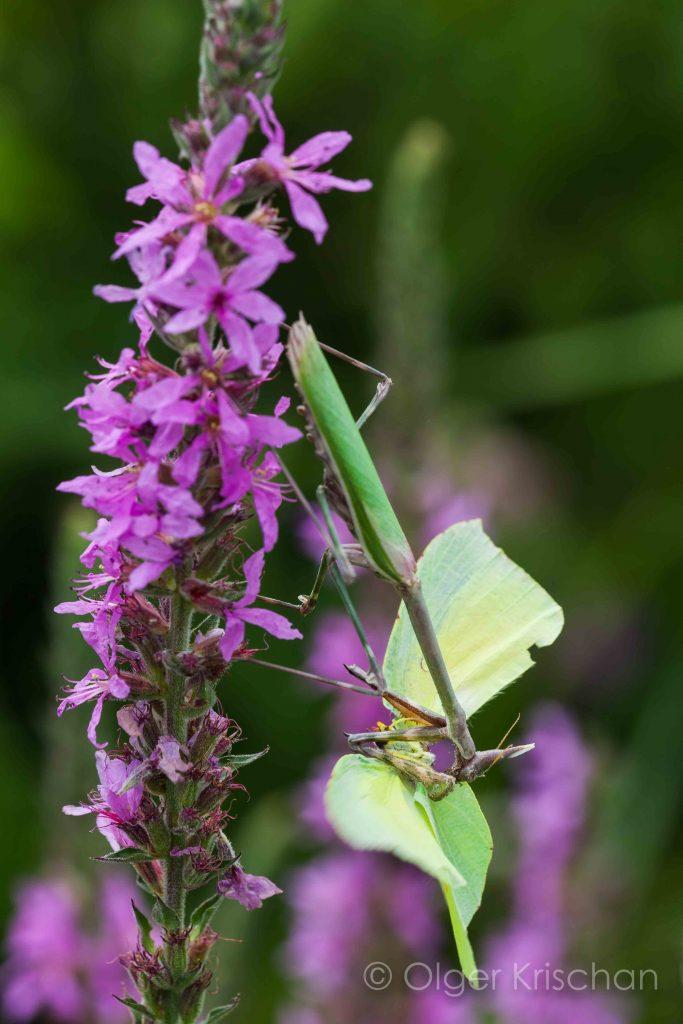 Praying mantis ♀︎ (Empusa pennata), Plaine des Maures (F)