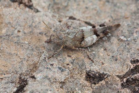Grasshopper (Acrididaea spec.), Plaine des Maures (F)