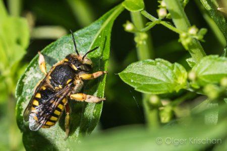 European wool carder bee ♀︎ (Anthidium manicatum)